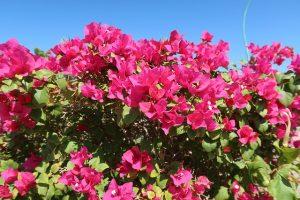 Le Bougainvillier est une plante très décorative