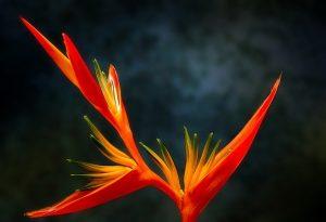 Oiseau du Paradis : un nom bien mérité