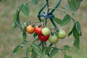 Bien planter tomate