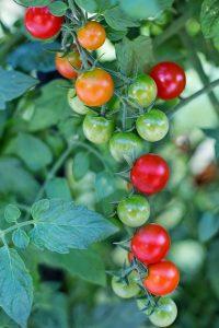 Bien planter la Tomate Cerise